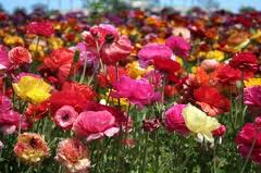 Fields of flowers- 2
